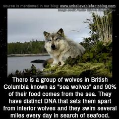 There is a group of wolves in British Columbia known as sea wolves and of their food comes from the sea. They have distinct DNA that sets them apart from interior wolves and they swim several miles every day in search of seafood. Animals And Pets, Funny Animals, Cute Animals, Of Wolf And Man, Wolf Quotes, Interesting Animals, Interesting Facts, Unbelievable Facts, Emo
