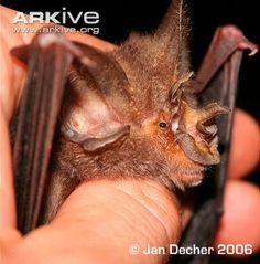 Ziama Horseshoe Bat...endangered species in the highlands of Guinea and Liberia