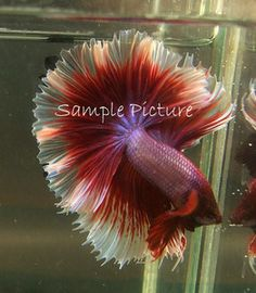 Lavender Male Halfmoon Betta...Holy Moly, gorgeous!
