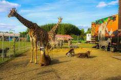 cirkuszi állatok – Google Kereső Giraffe, Google, Animals, Animais, Animales, Animaux, Giraffes, Animal, Dieren