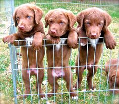 Chesapeake Retriever pups! For duck training and hunting. Beautiful! They grow up to be very serious protectors of their family!
