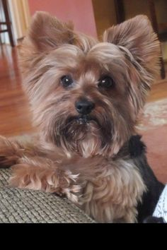 Such expression. I love looking into my Yorkie's eyes. I promise I can feel what she's thinking and she understands me.