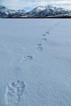 Bear tracks, Wrangell-St Elias National Park and Preserve, Alaska