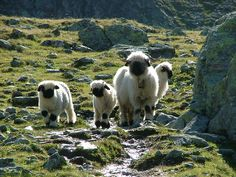 Swiss Sheep by puffin11uk, via Flickr