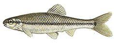 Bluntnose minnow (Pimephales notatus)