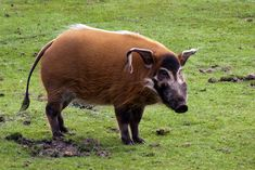Red River Hog, Hunting, Cute Animals, Pigs, Horses, Spiritual, Animaux, Pretty Animals, Cutest Animals