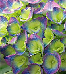 Hydrangea Cityline® Rio  This compact Bigleaf Hydrangea offers mildew-resistant foliage and strong stems holding lush, 6in flower heads -- deep blue-purple on acid soils, pink on alkaline -- with striking green eyes. Cityline® Rio is part of a German series bred for low, tight-growing habit that requires little or no pruning. Flowers on old wood. 'Ragra' PPAF