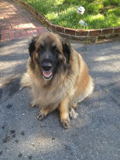 Meet Chaya! #dog #furry #leonberger