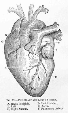 Anatomy Drawing Medical Antique Medical Illustration of a Human Heart Drawings, Human Heart Drawing, Figure Drawing, Heart Illustration, Medical Tattoo, Human Figure Drawing, Art, Heart Anatomy Drawing, Heart Drawing