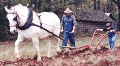 percheron horses   Rural Heritage - White Percheron Draft Horse