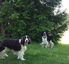 English Springer Spaniel's Breeder located in Snohomish, WA. Looking for English Springer Spaniel puppies? Tiny Dog Breeds, Dog Breeds Little, Best Dog Breeds, Springer Spaniel Puppies, Spaniel Dog, Spaniels, Best Dog Food, Best Dogs, Hipster Dog