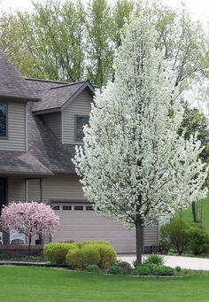 Pear tree :Columnar Trees & Shrubs: Our 8 Go-to for Narrow Small Ornamental Trees, White Flowering Trees, Blooming Trees, Small Trees, Outdoor Landscaping, Front Yard Landscaping, Landscaping Borders, House Landscape, Landscape Design