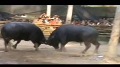 Amazing Buffalo Fighting Festival Compilation 2016:  Buffalo combating is a completely unique and traditional festival of people in Do Son District Haiphong city. This competition isn't simplest associated with Water Goddess worshiping and sacrificing custom but additionally expressed bravery chivalry and chance-taking spirit of people inside the coastal metropolis of Haiphong.  The competition derives from the belief of Do Sons locals that buffalo fighting is in want of their mother or…