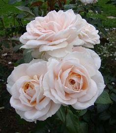 ~Floribunda Rose: Rosa 'Lion's Rose' AKA 'Champagne Moment' (Germany, before 1999)