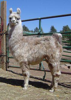 Alpacas, Cute Alpaca, Llama Alpaca, Llama Pictures, Animal Pictures, Funny Animals, Cute Animals, Farm Animals, Llama Llama Red Pajama