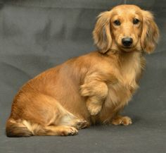 ❤️ spectacular long haired dachshund