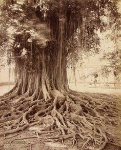 Roots of a Banyan Tree in Java, circa 1930s {Nederlands-Indië in foto's, 1860-1940, Koninklijk Instituut voor taal-, land- en volkenkunde (KITLV)}