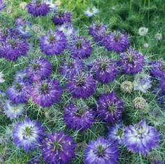Nigella Damascena   nombre cientifico nigella damascena nombre comun aranuela cabellos de ...
