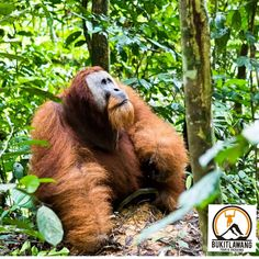The Big Male Sumatran Orangutan. bukitlawangtourtrekking.com. #bukitlawang #bukitlawangjungletrekking #bukitlawangtourtrekking #bukitlawangtour #bukitlawangholiday #bukitlawangtrip