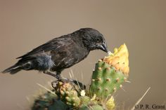 Gene behind 'evolution in action' in Darwin's finches identified