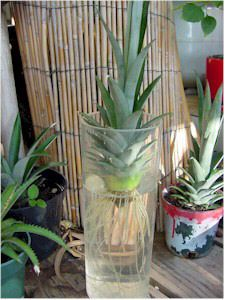 Growing Pineapple: Dry Pineapple Crown for one week, place in water (change every few days), and plant in soil once a good root system has sprouted. May take up to two years before Pineapple plant bares its first fruit Herb Garden, Vegetable Garden, Garden Plants, Indoor Plants, House Plants, Growing Plants, Growing Vegetables, Dried Pineapple, Pineapple Growing