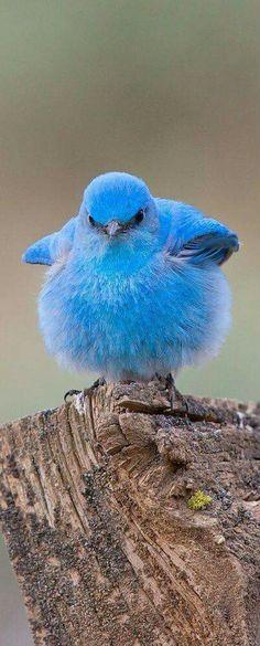 Pissy Blue Bird