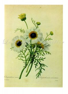 Redouté Flower Painted Daisy Chrysanthemum Botanical Lithograph ... off to a new home!