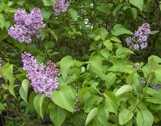 The lilac bush (Syringa vulgaris) was designated the official state bush of New York state in showy, aromatic blooms in spring; a lilac bush can live for hundreds of years. Lilac Flowers, Beautiful Flowers, Purple Lilac, Syringa Vulgaris, Buy Plants Online, Lilac Bushes, Powdery Mildew, Herbs, Diy