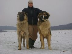 Caucasian Ovcharka, Russian mountain dogs - The one on the left in this repinned picture looks like my Yogi's mama.