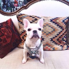 A Very Stylish French Bulldog Puppy.