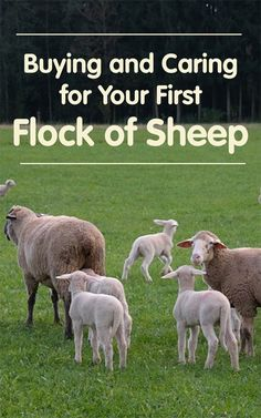 Raising Sheep: Buying and Caring for Your First Flock – Countryside – Nutztiere Sheep Pen, Pet Sheep, Baby Sheep, Sheep Farm, Sheep And Lamb, Sheep Wool, Sheep Shelter, Animal Shelter, Raising Farm Animals