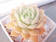 マーガレットレッピンの画像 by mamiiさん|マーガレットレッピン_mamiiとグラプトベリア属と多肉植物 (2015月4月29日)|みどりでつながるGreenSnap