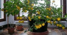 Een citroenboom planten en laten groeien | gezonderleven.com