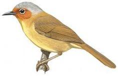 Chestnut-faced Babbler (Stachyris whiteheadi)