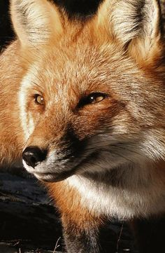 Red Fox by Ryan Teall