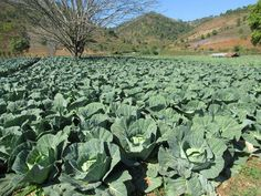 Cabbage grows well on the cool plateau near Kalaw, Myanmar (Burma). Cabbage, Cabbages, Brussels Sprouts, Kale