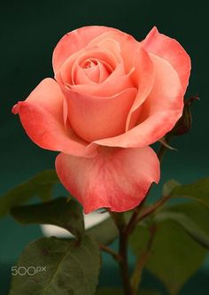 Rose, beautiful coral color