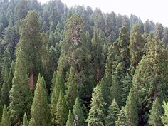Beautiful Giant Red Wood, also known as Giant Sequoia, California