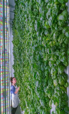 Vertical garden #verticalfarming