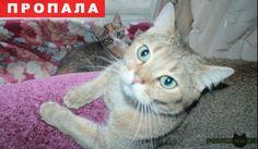 Пропал кот г.Москва http://poiskzoo.ru/board/read24513.html  POISKZOO.RU/24513 Пропал котик, песочного цвета британец, глаза зеленовато-голубые. Кличка Космос  РЕПОСТ! @POISKZOO2 #POISKZOO.RU #Пропала #кошка #Пропала_кошка #ПропалаКошка #Москва