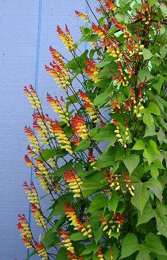 Mina lobata, spanish flag grow with corn as flowering annual vine