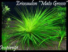 """Eriocaulon sp. """" Mato Grosso"""""""