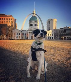 Travel the world: Being makers of pet travel products, one of the great perks for the Sleepypod team is traveling the world with our customers via the photos they share with us. Here's a postcard photo of Bailey w/the grand St. Louis Gateway Arch providing the backdrop. Bailey is a rescue who's stolen the hearts of his forever family (and ours, too)! -courtesy of @baileygotbark (Instagram)