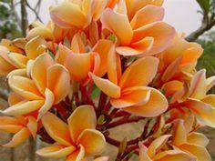 Buy online: Frangipanis from Hawaaii and Australia.