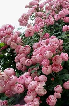 I've got one of these amazing Raubritter roses coming to my garden soon! Amazing Flowers, Beautiful Roses, Beautiful Gardens, Beautiful Flowers, Roses David Austin, David Austin Rosen, Pink Roses, Pink Flowers, Pink Peonies