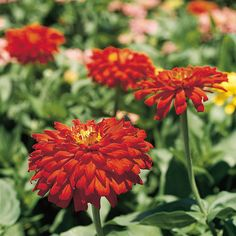Layers of petals and bold blooming colors make zinnia a staple for late-summer bocquets: http://www.bhg.com/gardening/flowers/annuals/best-annuals-for-cutting/?socsrc=bhgpin032715zinnia&page=10