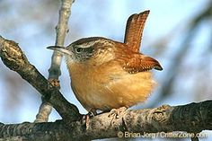 South Carolina State Bird - Carolina Wren