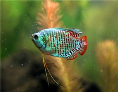 Dwarf Gourami, possible idea for a 20g with neon tetras and some cories? Will have to double check compatibility.