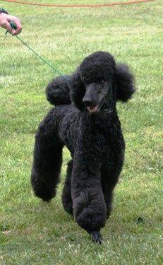 Black standard poodel