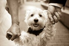 Pictures of West Highland Terriers and Westie mixes. To submit photos of Westies and Westie mixes, you can do so here. Dog Wedding, Our Wedding Day, Wedding Pics, Wedding Ceremony, I Love Dogs, Puppy Love, White Terrier, Terrier Mix, Terriers